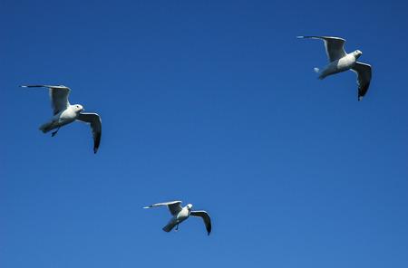 Seagull larus Marinus Flying In Sky Standard-Bild