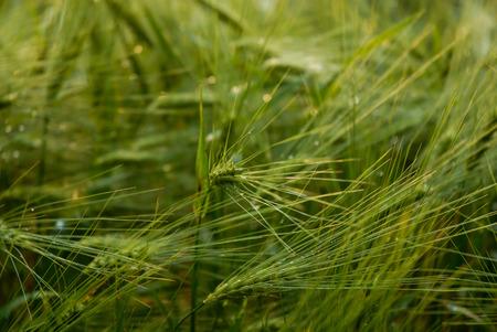 Green Cropfield Standard-Bild