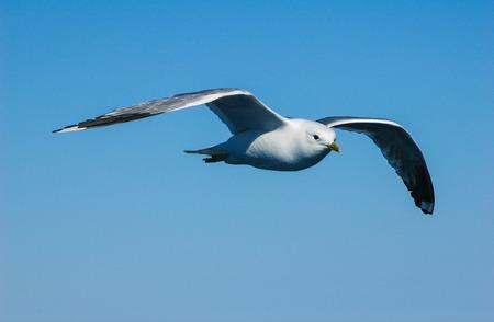seagull flyig Standard-Bild