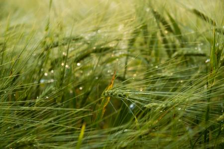 wet cropfield Standard-Bild