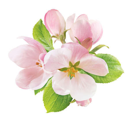 Spring apple blossom isolated on white