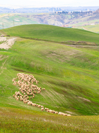 valdorcia: Flock of Sheep grazing in the Tuscany hills Stock Photo