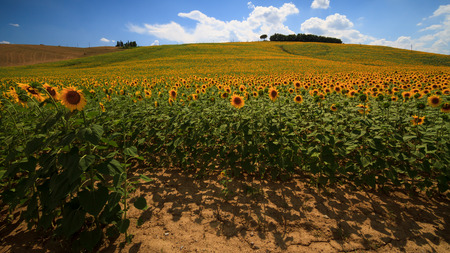 valdorcia: Tuscan hills with sunflowers cultivation
