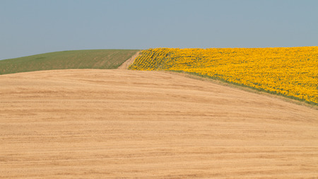 val: Field of blooming sunflowers in Val dOrcia, Tuscany, Italy