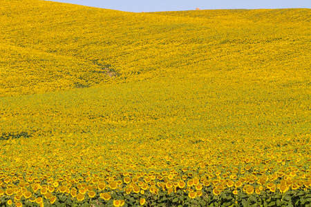 Field of blooming sunflowers with hills in background, Tuscany, Italy