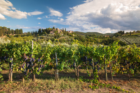 Harvest in Tuscan vineyard landscape with bunches of red wine grapes and characteristic castle in the background, on September 2018 in Chianti, Tuscany, Italy Stock fotó - 117309580