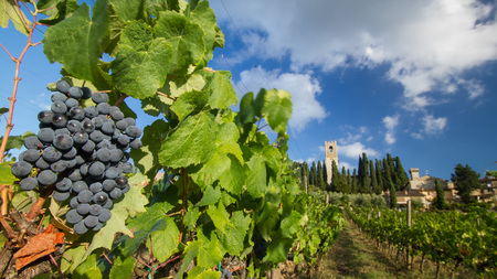 Harvest in Tuscan vineyard landscape with bunches of red wine grapes and characteristic abbey in the background, on September 2018 in Chianti, Tuscany, Italy Stock fotó - 117309582