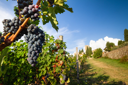 Harvest in Tuscan vineyard landscape with bunches of red wine grapes and characteristic abbey in the background, on September 2018 in Chianti, Tuscany, Italy