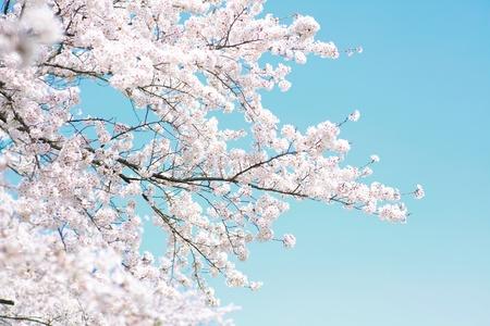 flor de cerezo: los cerezos en flor Foto de archivo
