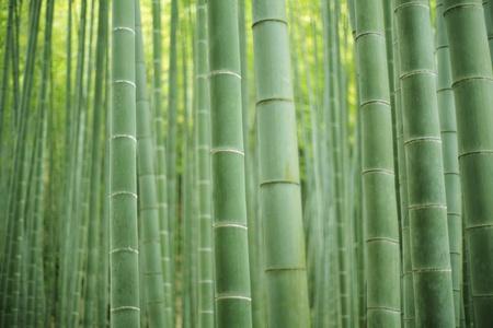 japones bambu: bosque de bambú Foto de archivo