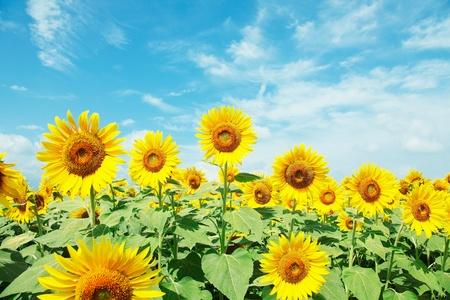 sunflower field: sunflower field Stock Photo