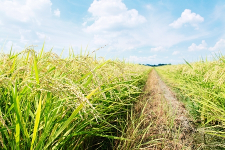 rice plant: rice plant field
