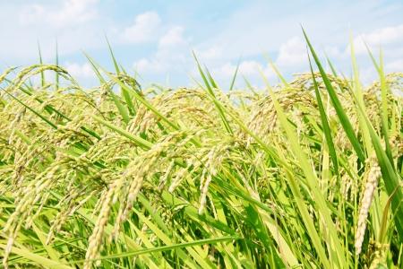 paddy fields: rice plant