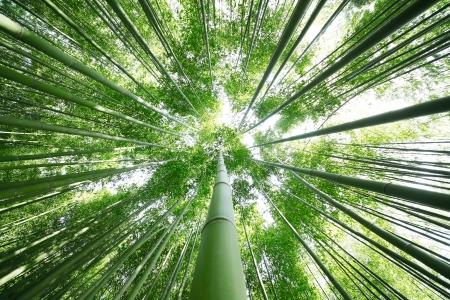 bamboo tree: Bamboo Grove