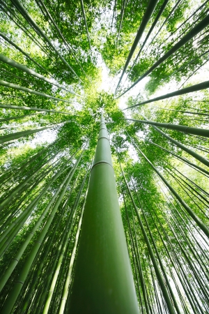 Bamboo Grove photo