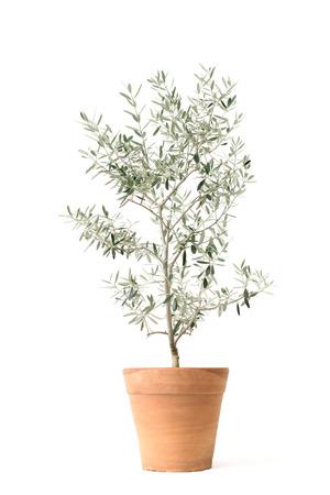 olives tree: olive isolated on white