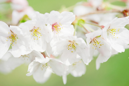 close up of the cherry blossom Banco de Imagens