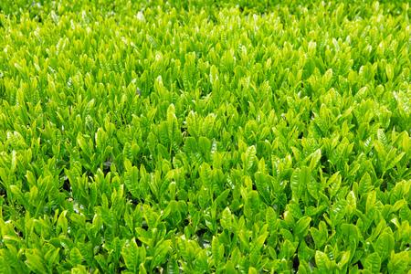 close up of the Japanese tea leaves Zdjęcie Seryjne
