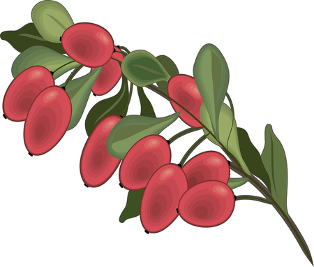Barberry fruit branch isolated cartoon symbol. Fresh red berry of barberry with green leaves for natural healthy spice and condiments, vegetarian food. Illustration