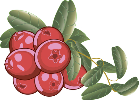 Cranberry. Red berries on a branch with green leaves. Isolated on white. Vector illustration.