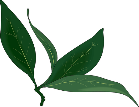 a branch of bay leaf on a white background Stock Photo