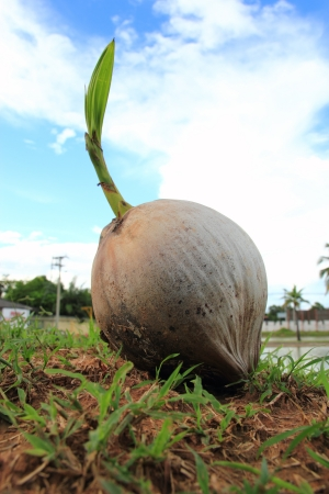 Sprout of coconut tree photo