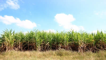 green cane field farm beautiful blue sky photo