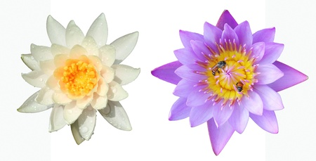 white and purple lotus,isolate on white Stock Photo - 16492922