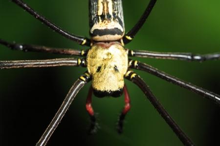 nursery web spider: Close up of spider Stock Photo