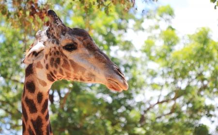 jirafa, fondo verde de �rboles Foto de archivo - 20195001