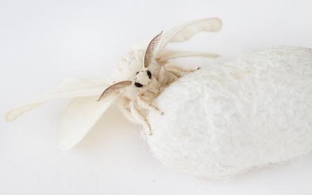 絹の繭のカイコ蛾