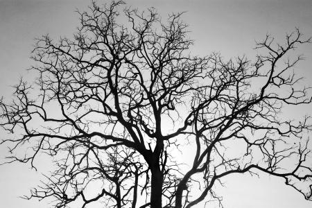 arboles secos: Rama de un �rbol muerto, en blanco y negro Foto de archivo