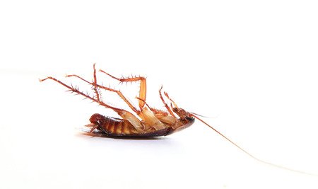 Dead cockroach, isolated on white background.