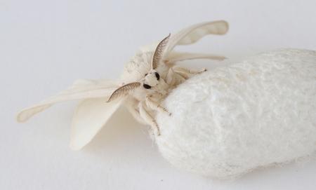 Silk Moth on Silk Cocoon, white background