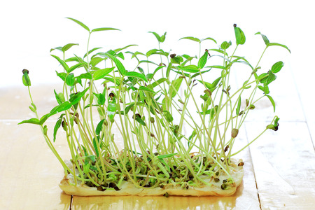 bean sprouts on wood desk. Stock Photo - 24772702