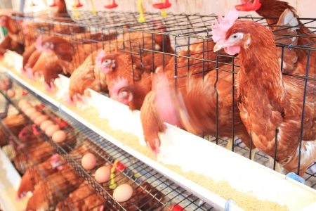 hen, chicken and eggs eating food in farm  版權商用圖片