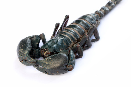 Black Emperor Scorpion, isolate on white background. photo