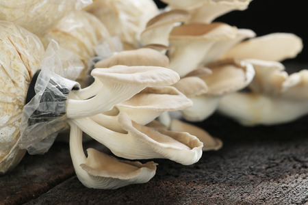 Oyster mushroom grow from cultivation, wood background. photo