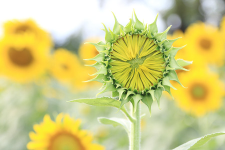 Sunflower bud in field. photo