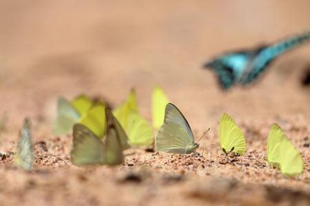 mariposas amarillas: Grupo de mariposas amarillas se comen minerales en el suelo, Select enfoque. Foto de archivo