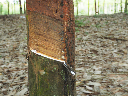 extracted: Milky latex extracted from natural rubber tree, Hevea Brasiliensis.
