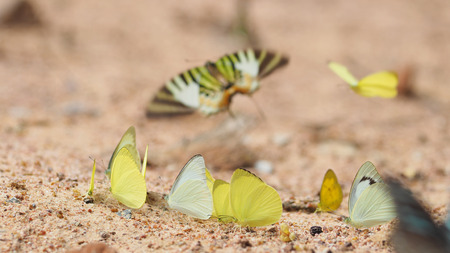 mariposas amarillas: Grupo de mariposas amarillas se comen minerales en el suelo Foto de archivo