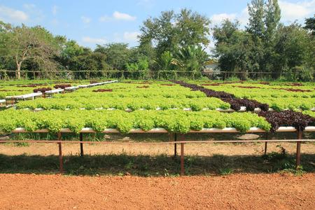 hydroponic: Hydroponic lettuce vegetable farm.