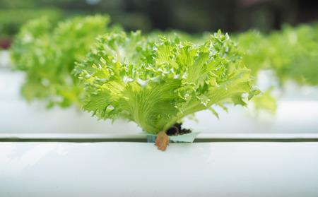 hydroponic: Hydroponic vegetable farm.