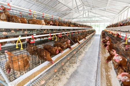 Kip, Kip eieren en kippen eten op boerderij.
