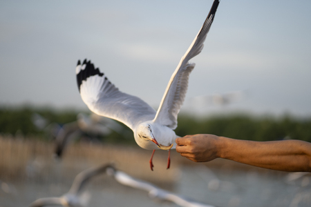 The seagull flies down to eat food from the hand.