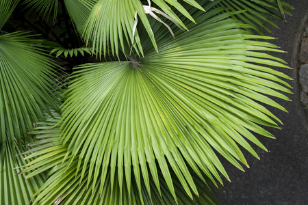 Green leaves of sugar palm
