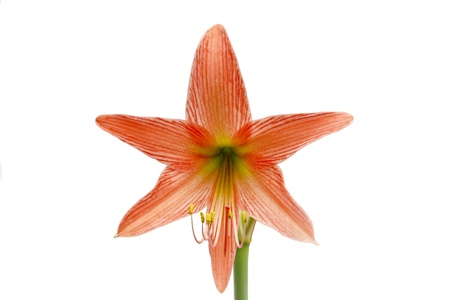 orange hippeastrum on white background photo