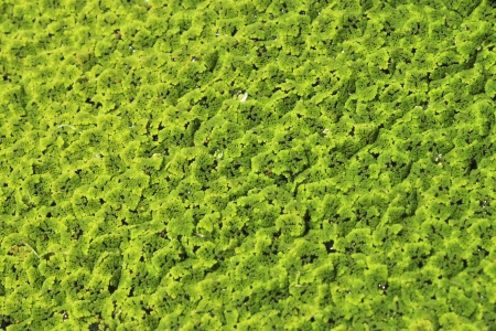 green duckweed floating above the water surface  Stock Photo
