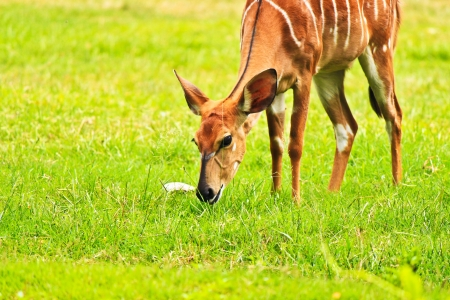 deer eating grass on the lawn Stock Photo - 16261680